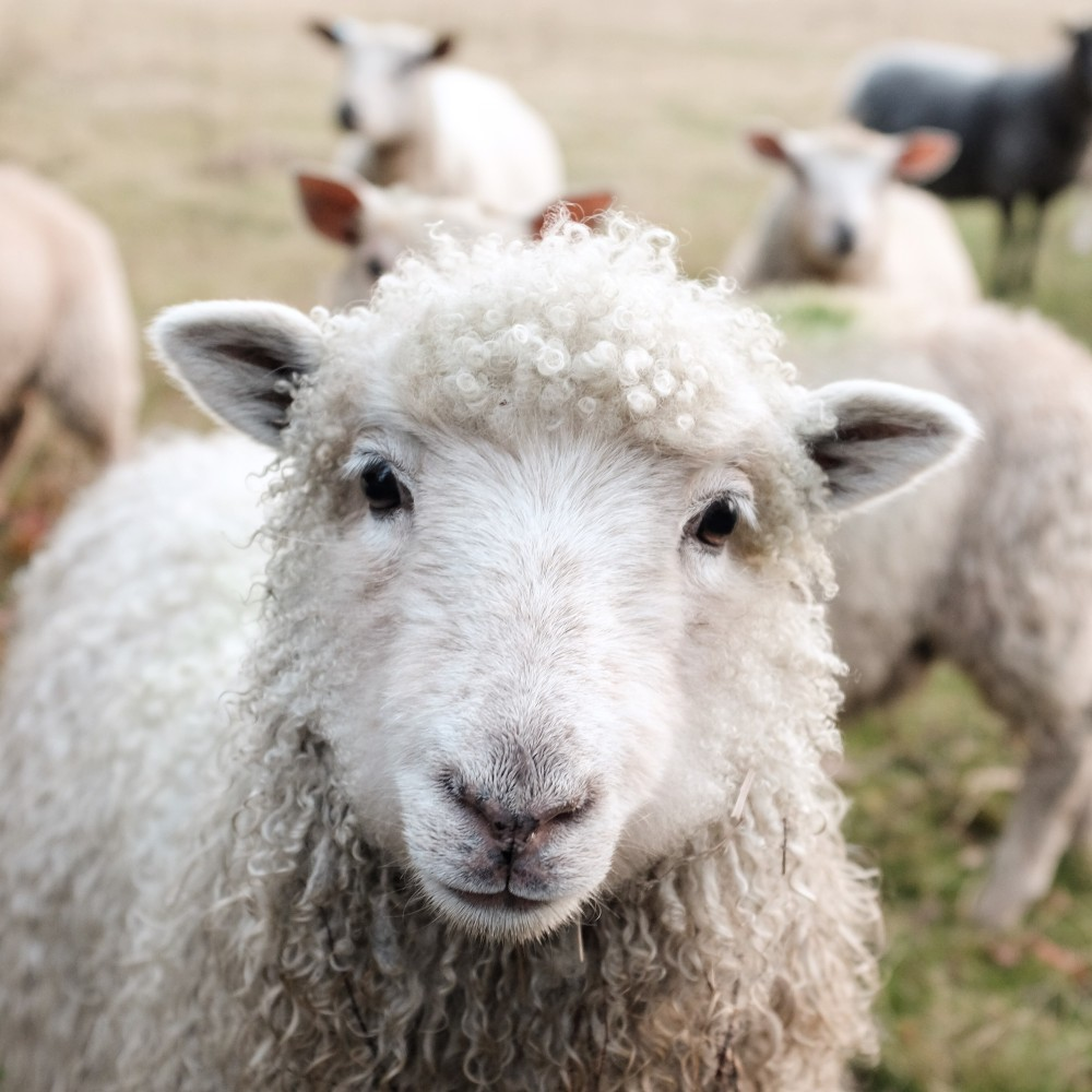 Pflanzenkohle in der Tierzucht/für Schafe